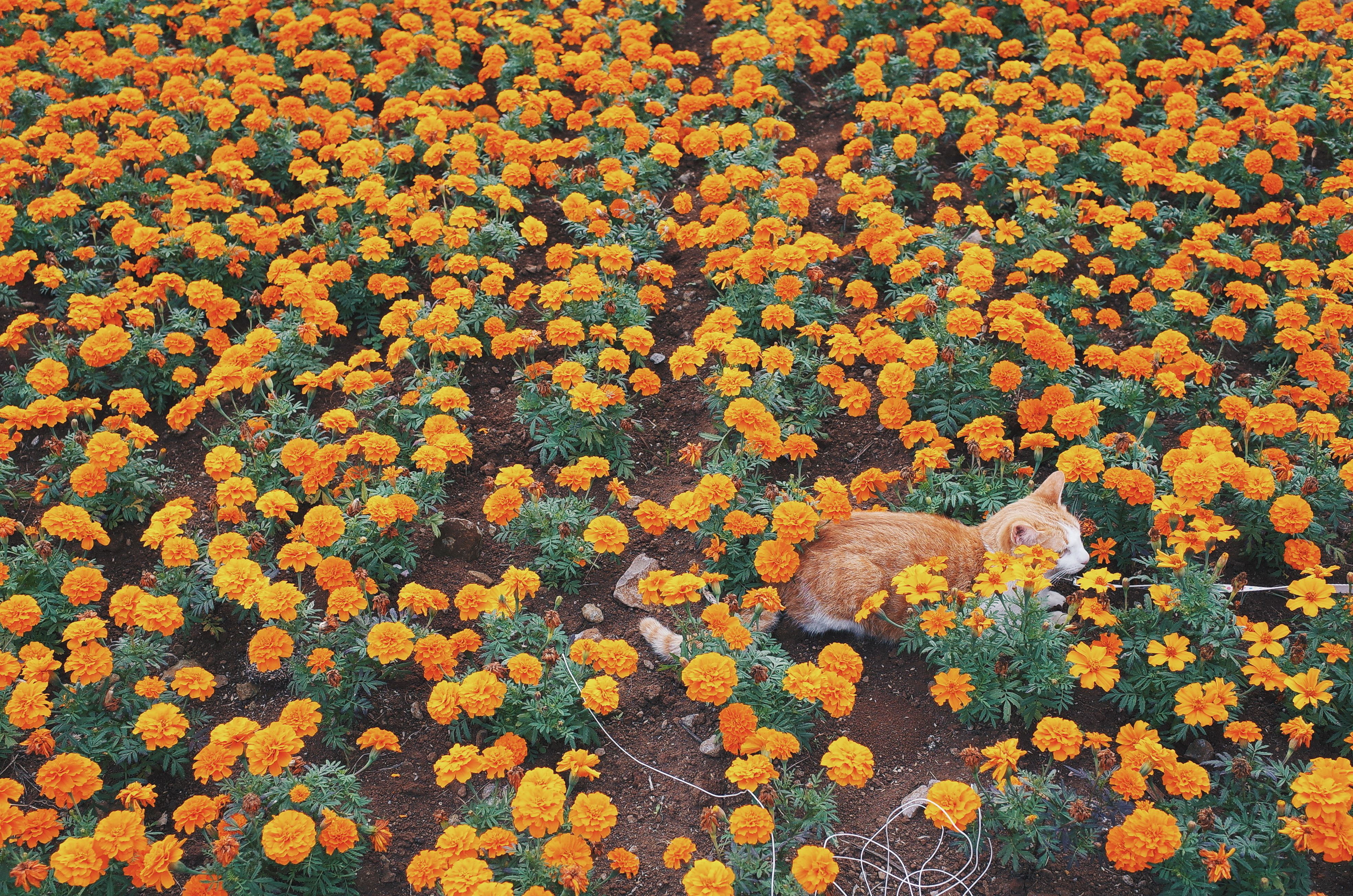 High Angle View Of Cat On Marigold Field