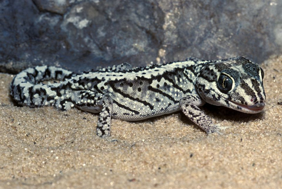 Panther gecko (Madagascar ground gecko)