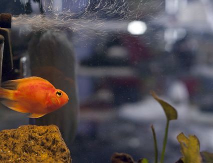 Parrot cichlid swimming under venturi air outflow