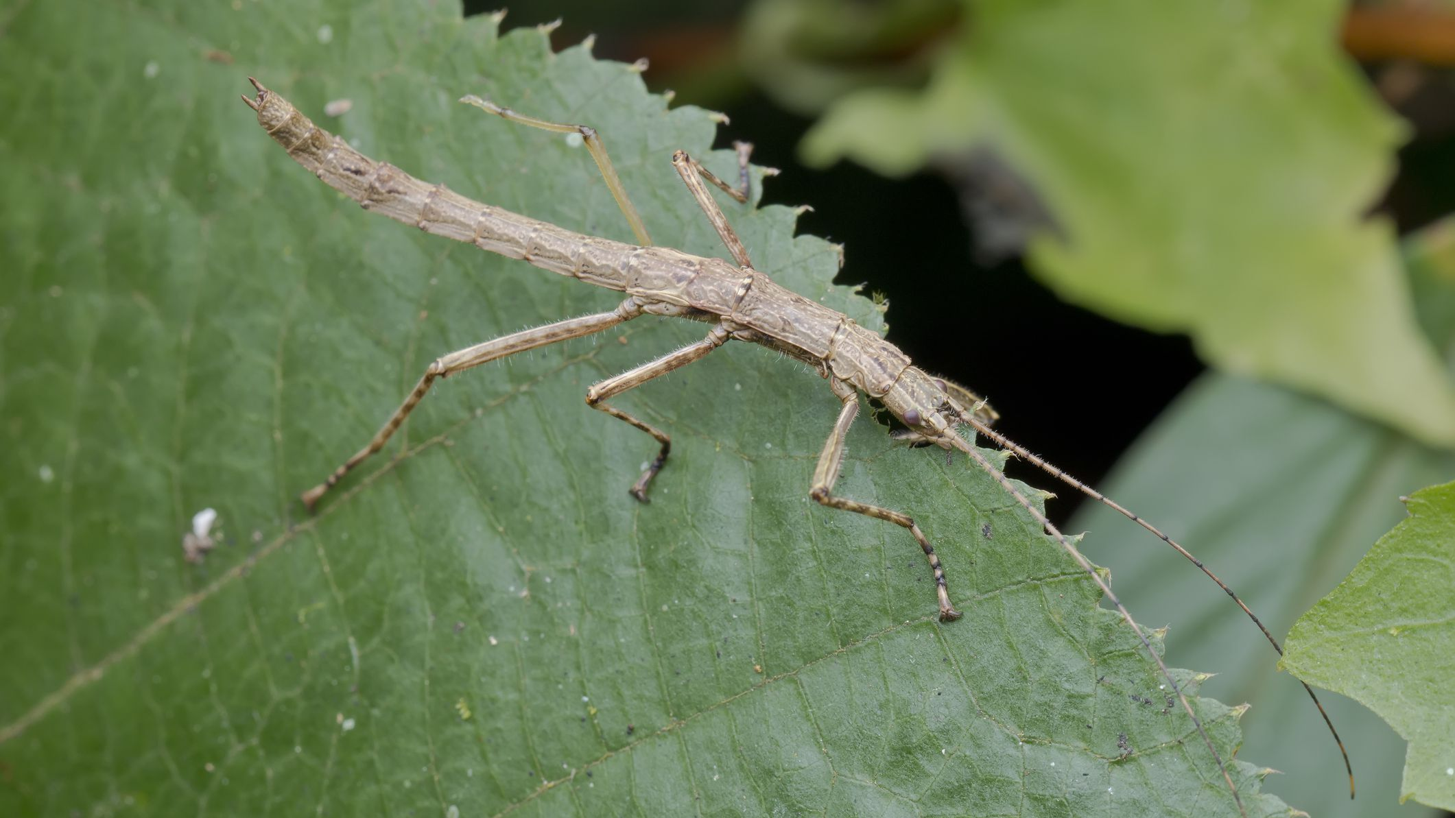 Keeping and Caring for Stick Insects as Pets