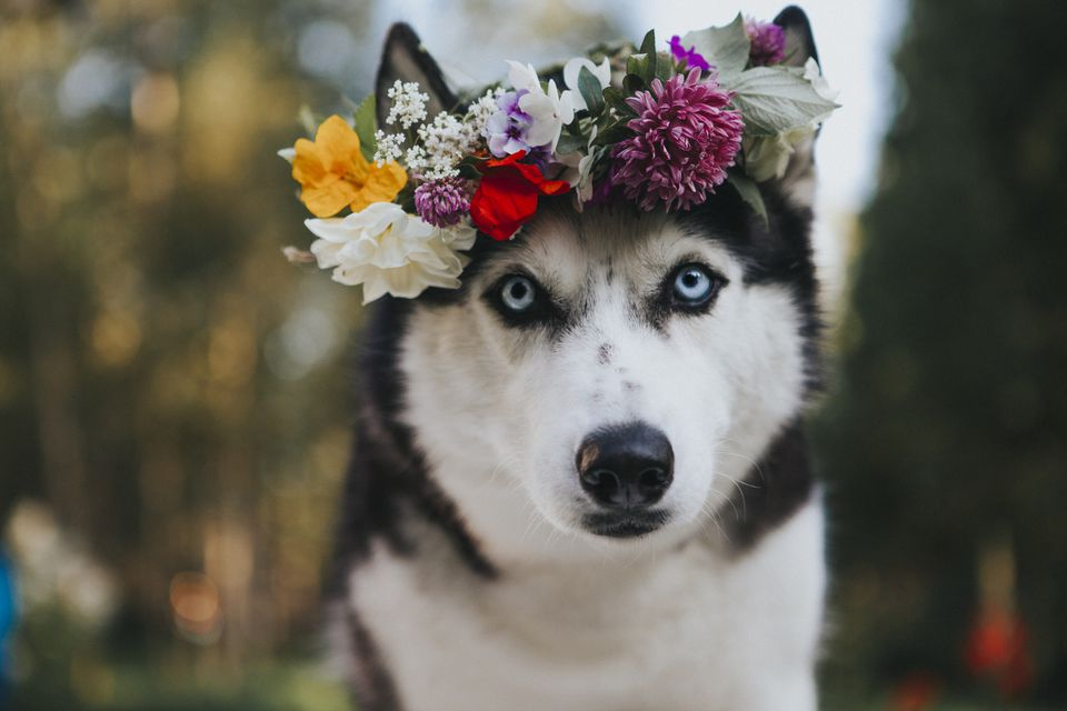 Siberian husky with flower crown