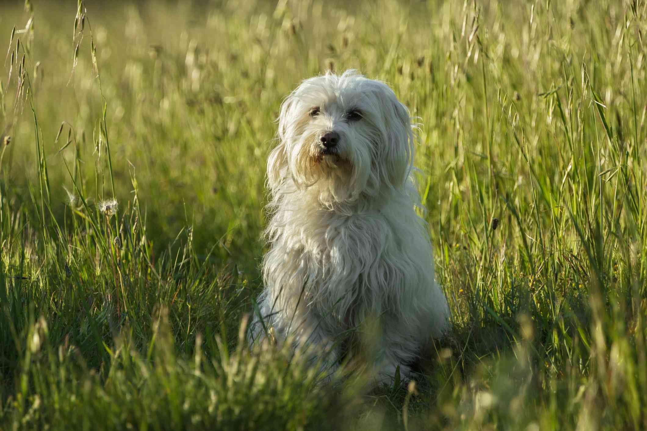 A long-haired white dog sitting nicely in long grass.