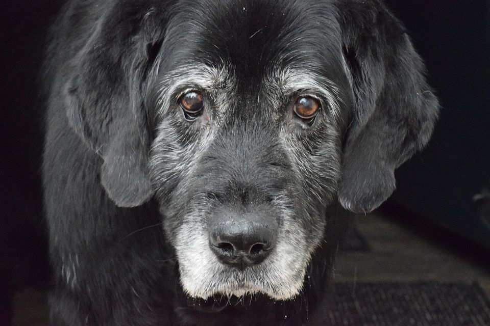 Old Black Dog