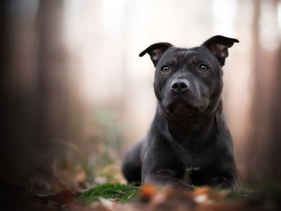 American Staffordshire Terrier: Full Profile, History, and Care