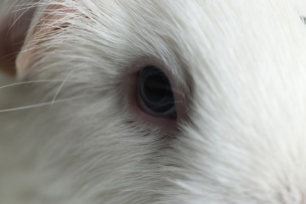 Guinea pig eye close up