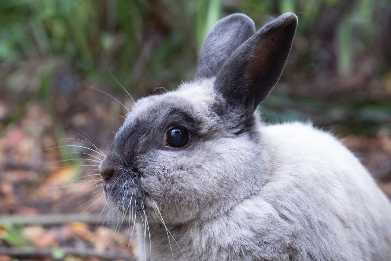 Gray and black rabbit outside closeup on its face
