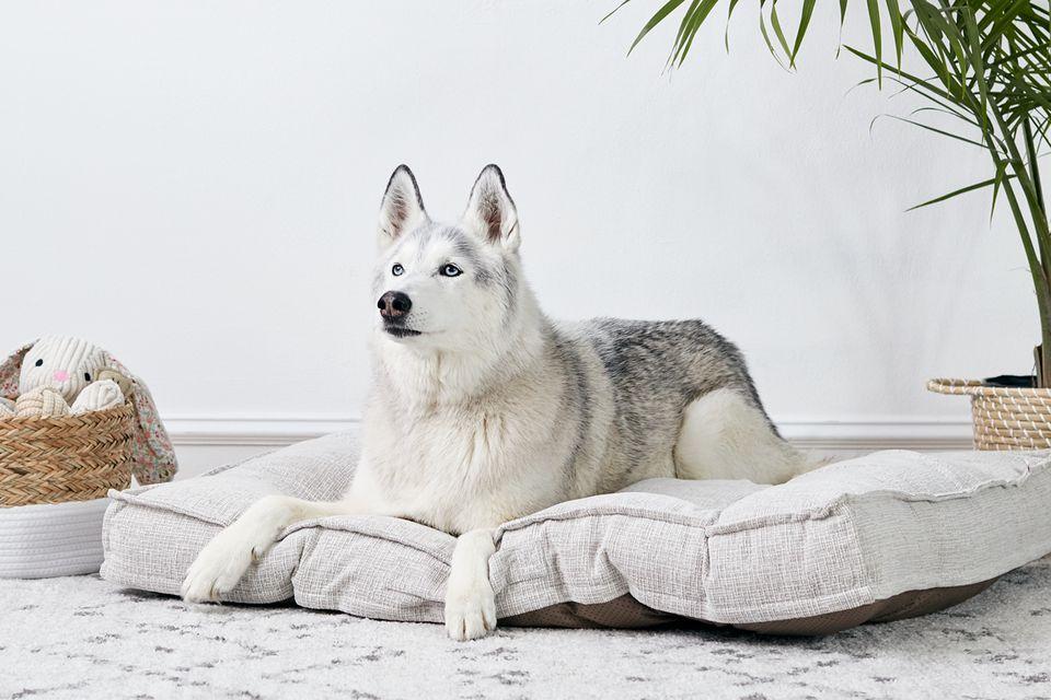 un husky descansando en una cama de perro