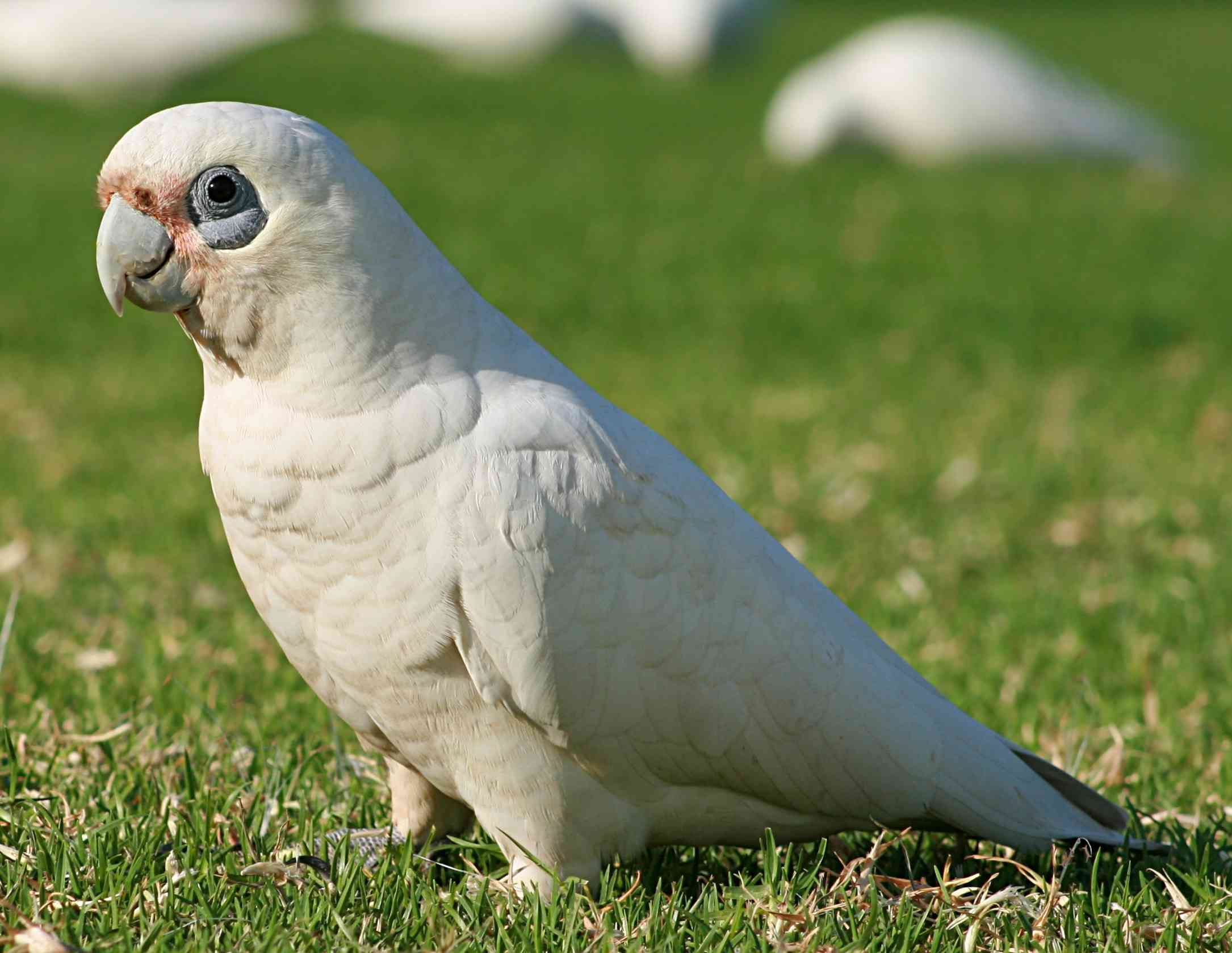 bare-eyed cockatoo standing on grass