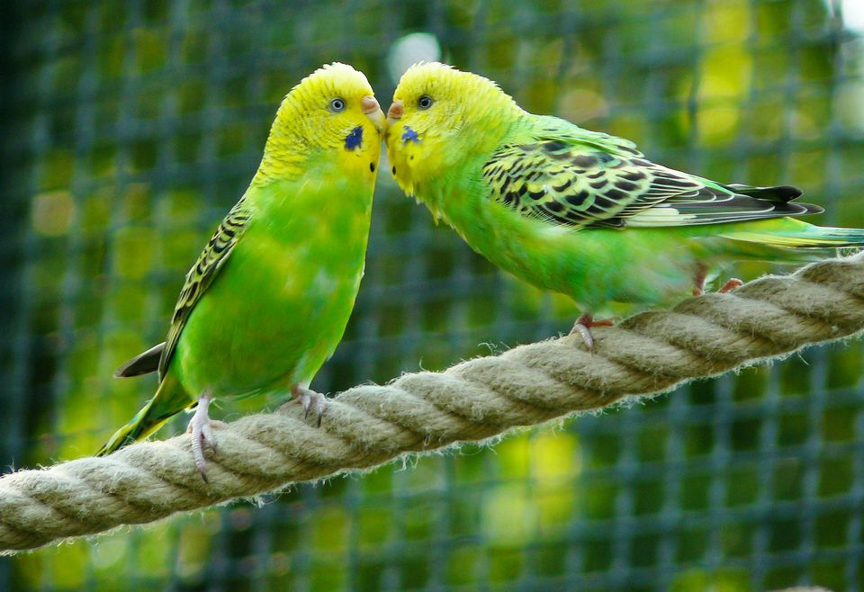 Budgerigars on rope