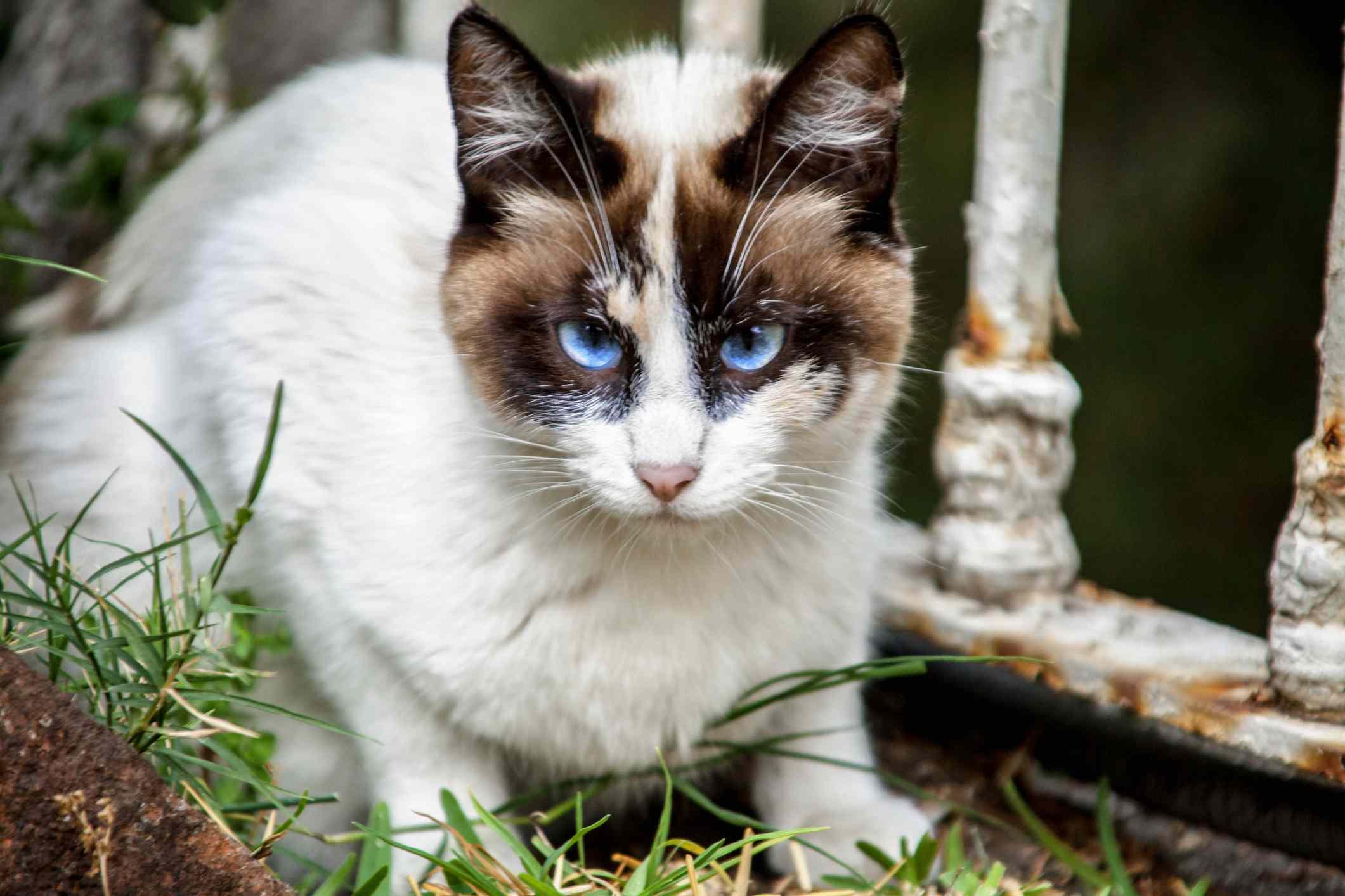 Blue-eyed snowshow cat in a garden