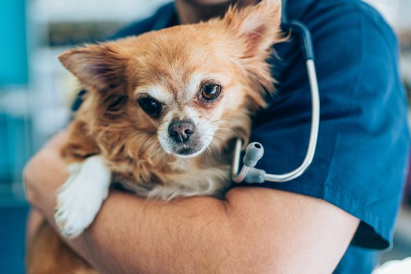 Chihuahua being held by vet.
