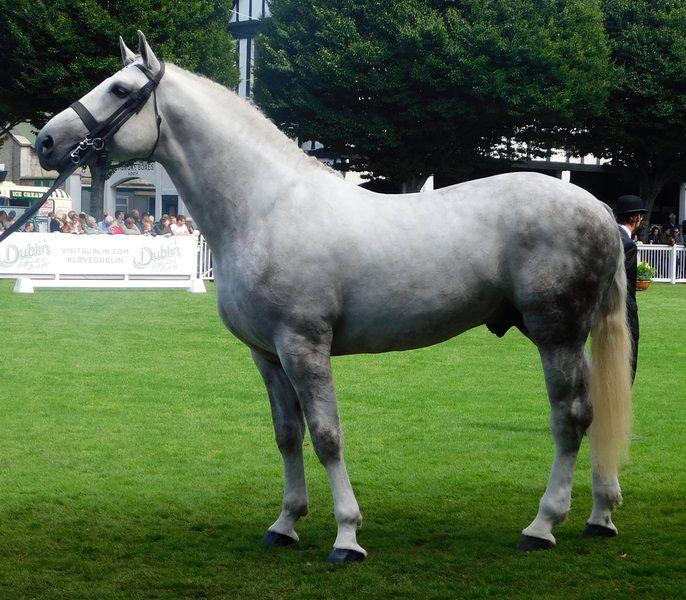 Grey Irish Draught Horse at Horse Show