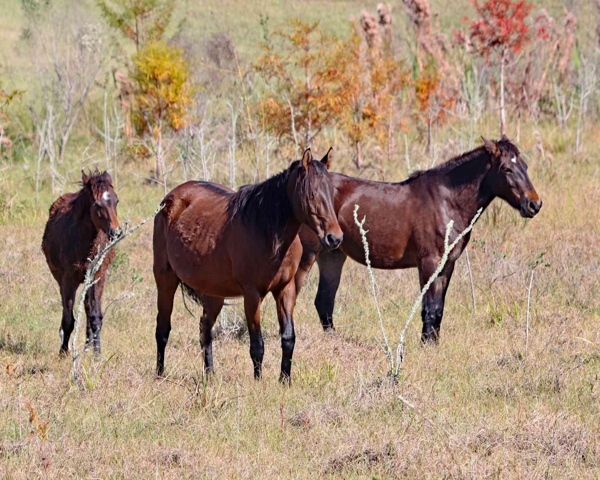 Herd of bay Florida Cracker Horses in a field.