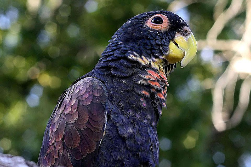 A bronze-winged pionus with a tree in the background