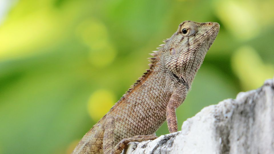 Bearded lizard on a rock
