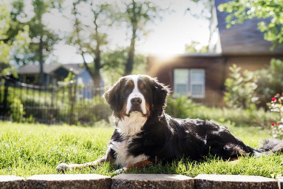 Un perro de montaña bernés real se sienta al sol