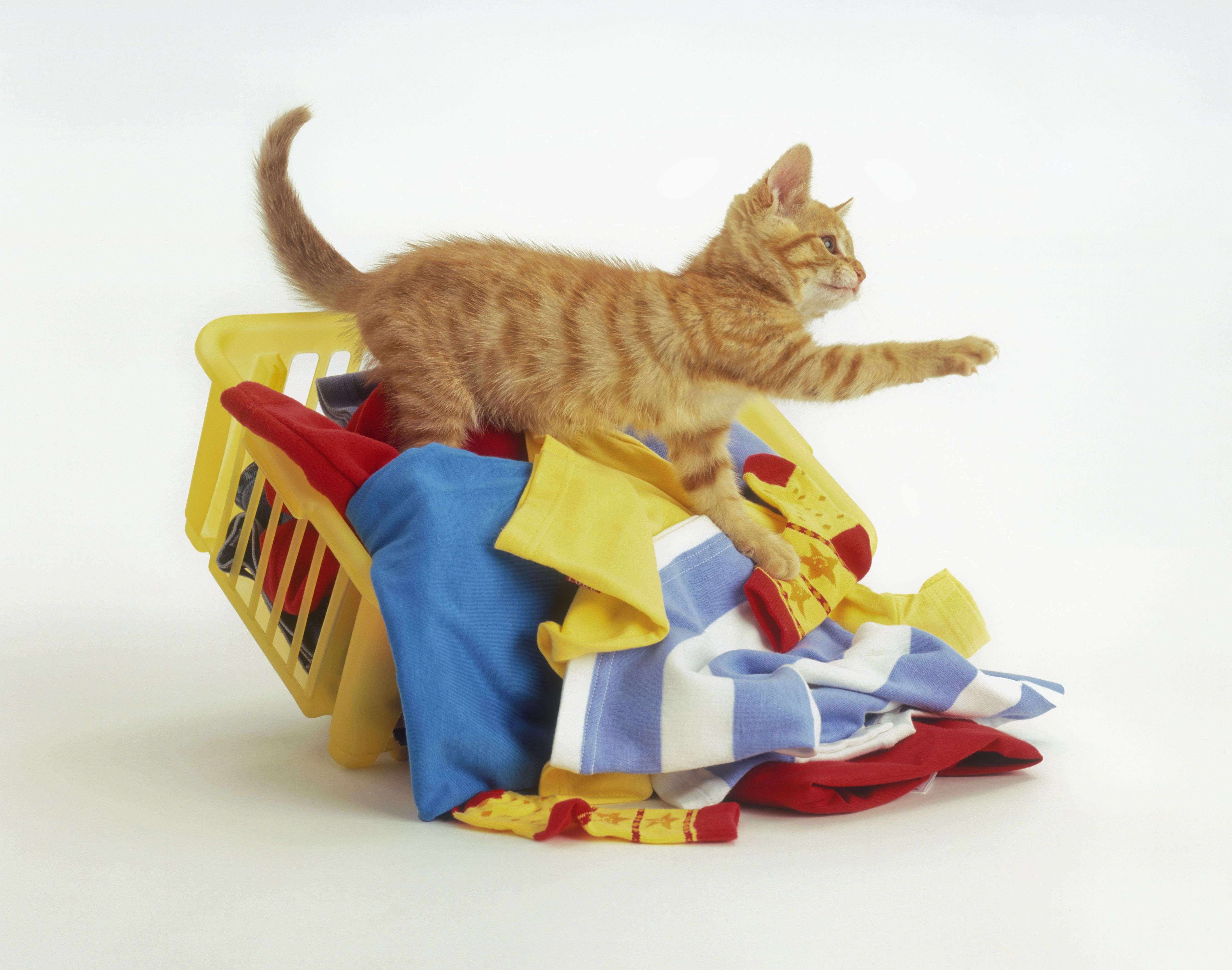 A ginger kitten climbing over a basket of washing and knocking it over