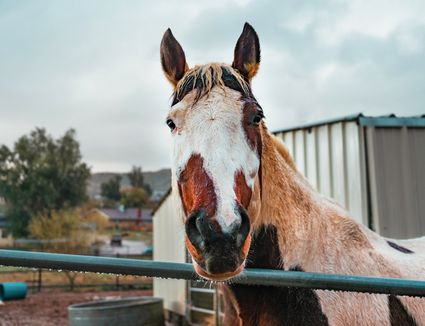 Horse with white and brown patches on face looking over metal railing