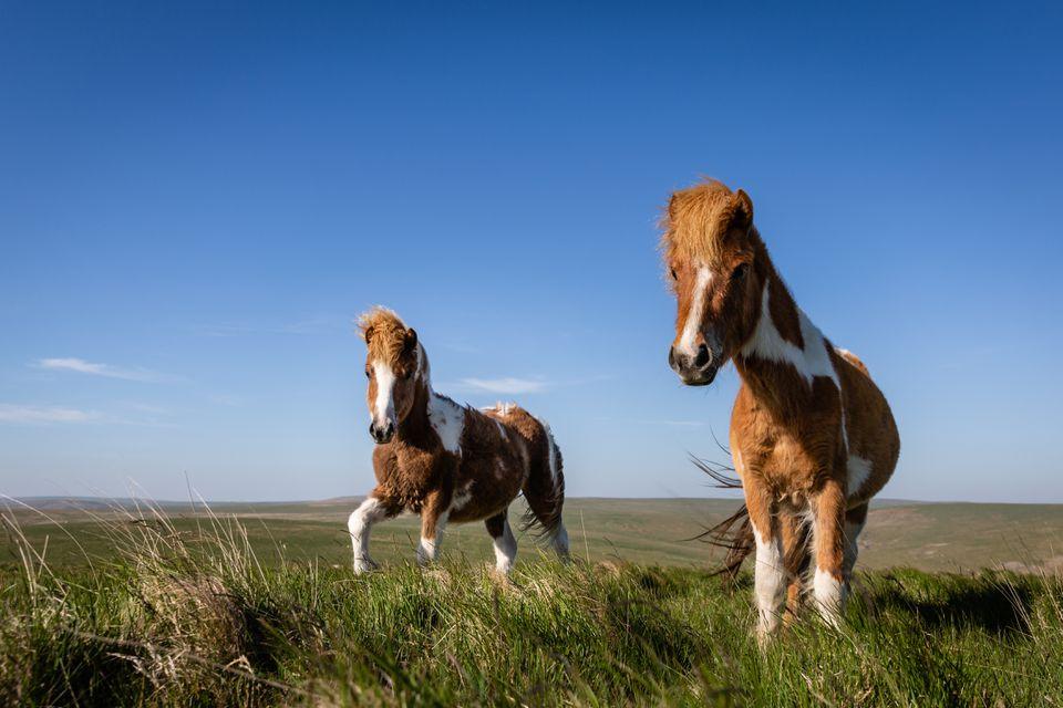 Pair of Dartmoor ponies (Equus ferus caballus) at Roos Tor.