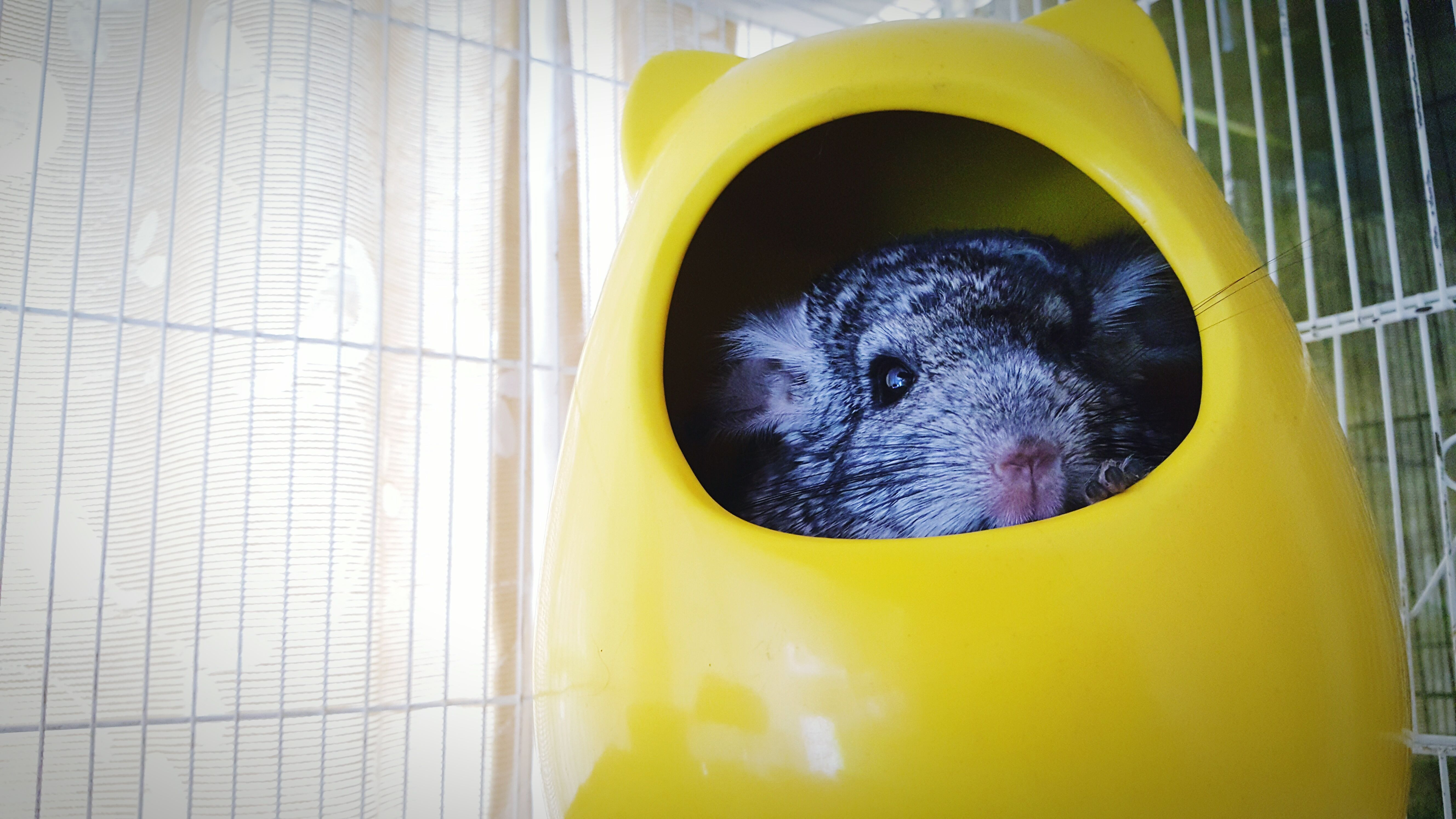 Close-Up Portrait Of Chinchilla In Yellow Pet Home