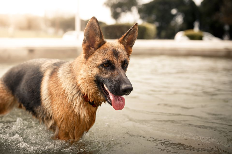 German shepherd in pool