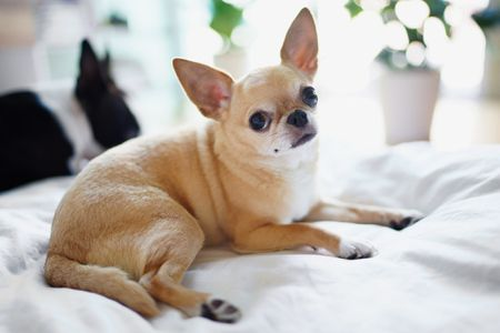 chihuahua dog breed profile