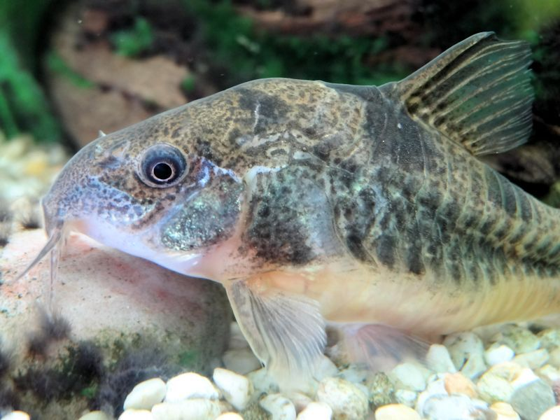 Pepper Cory fish swimming in a tank