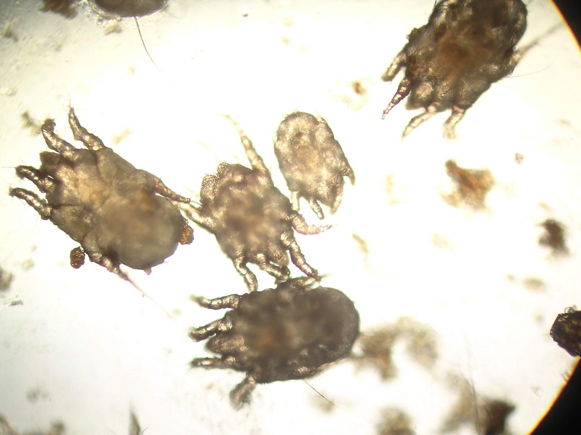 Ear mites of a cat