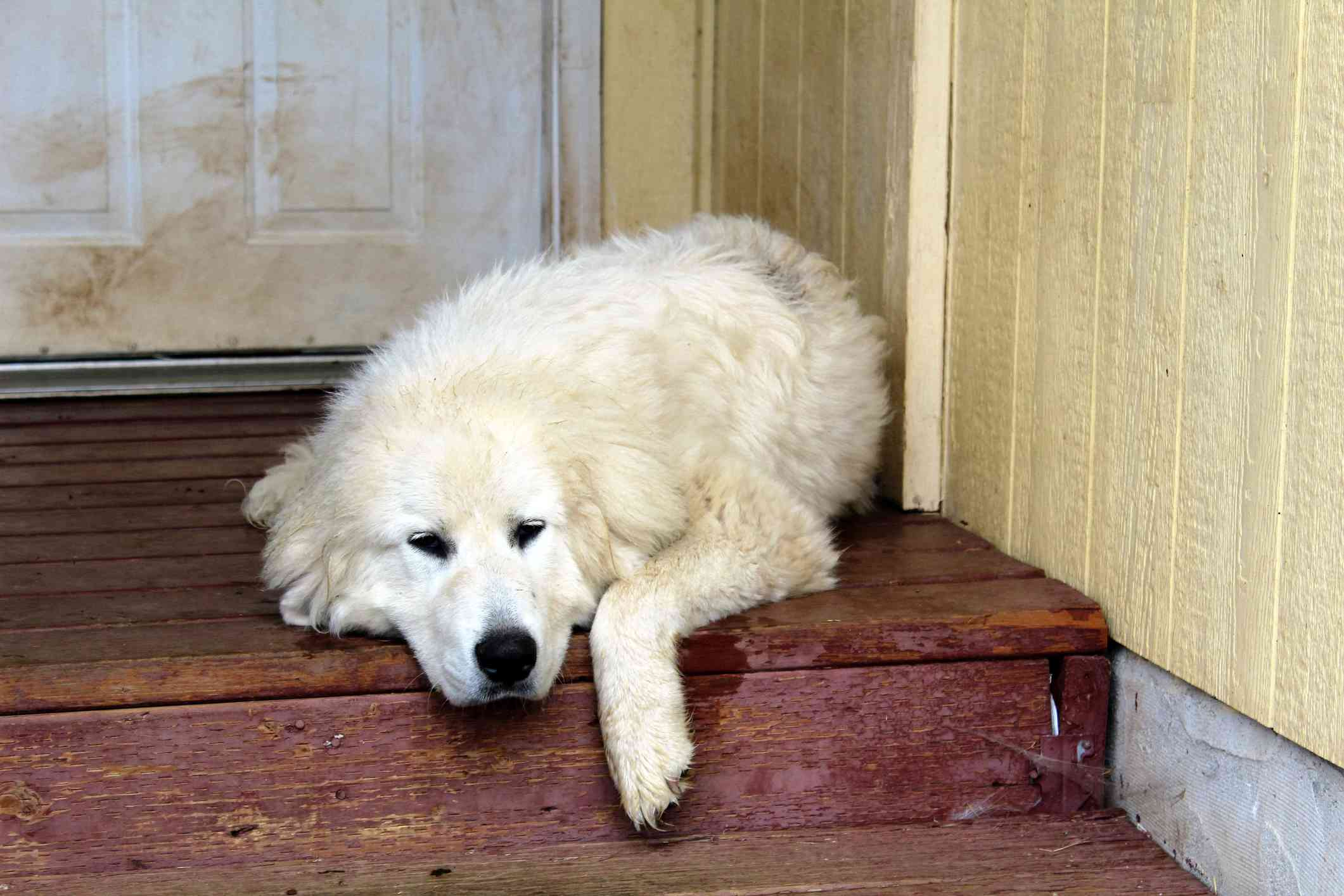 A fluffy, white Great Pyrenees laying on the steps.