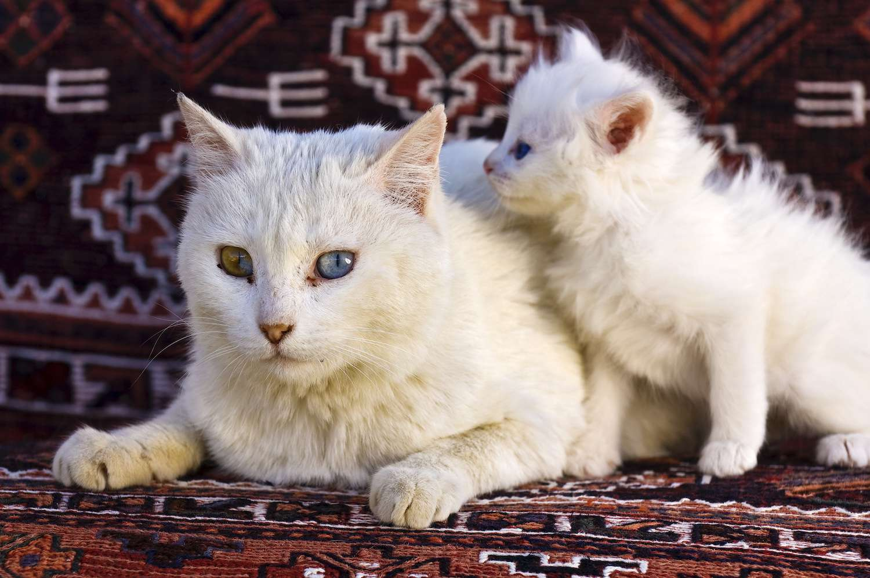 turkish van cat and kitten