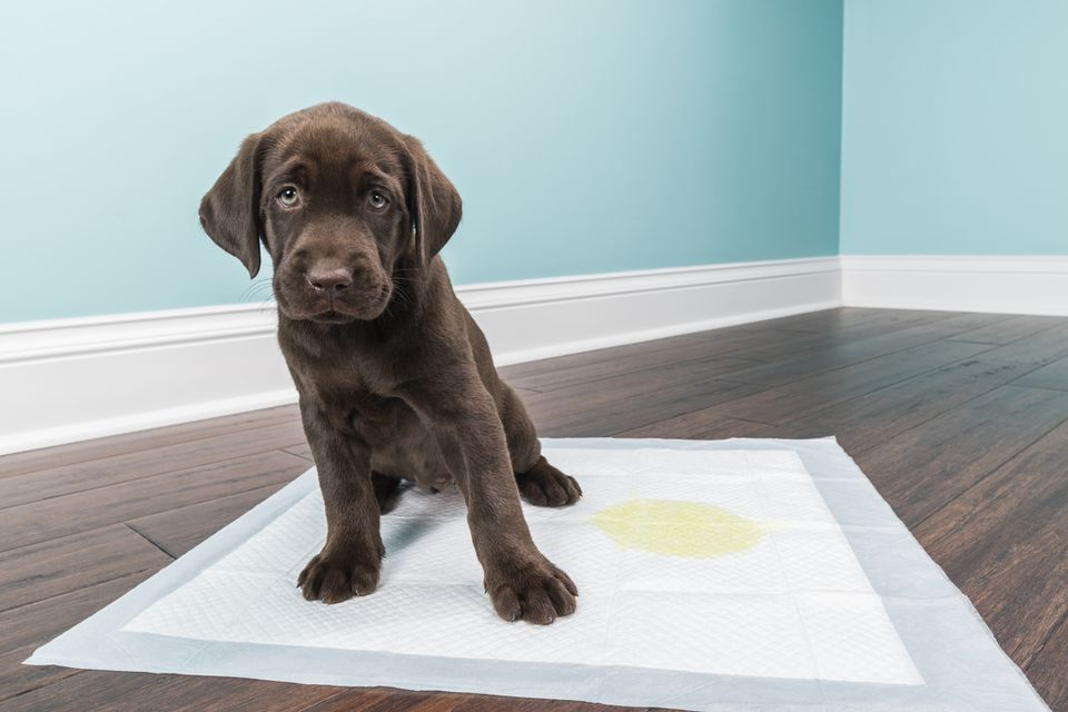 Chocolate lab puppy on pee pad with pee.