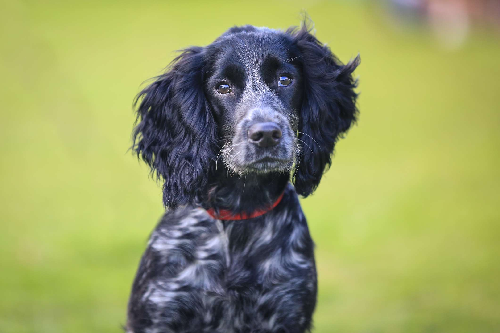 Black and white ticked English cocker spaniel against green background