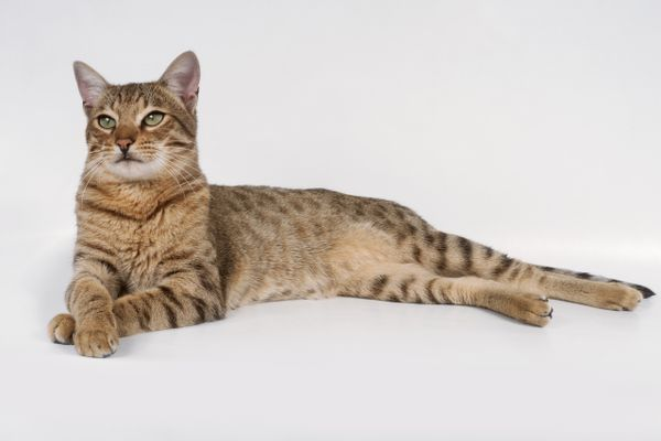 Savannah Shorthair Cat laying down