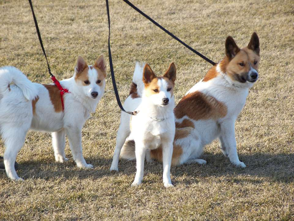 Three Norrbottenspets on leashes outside
