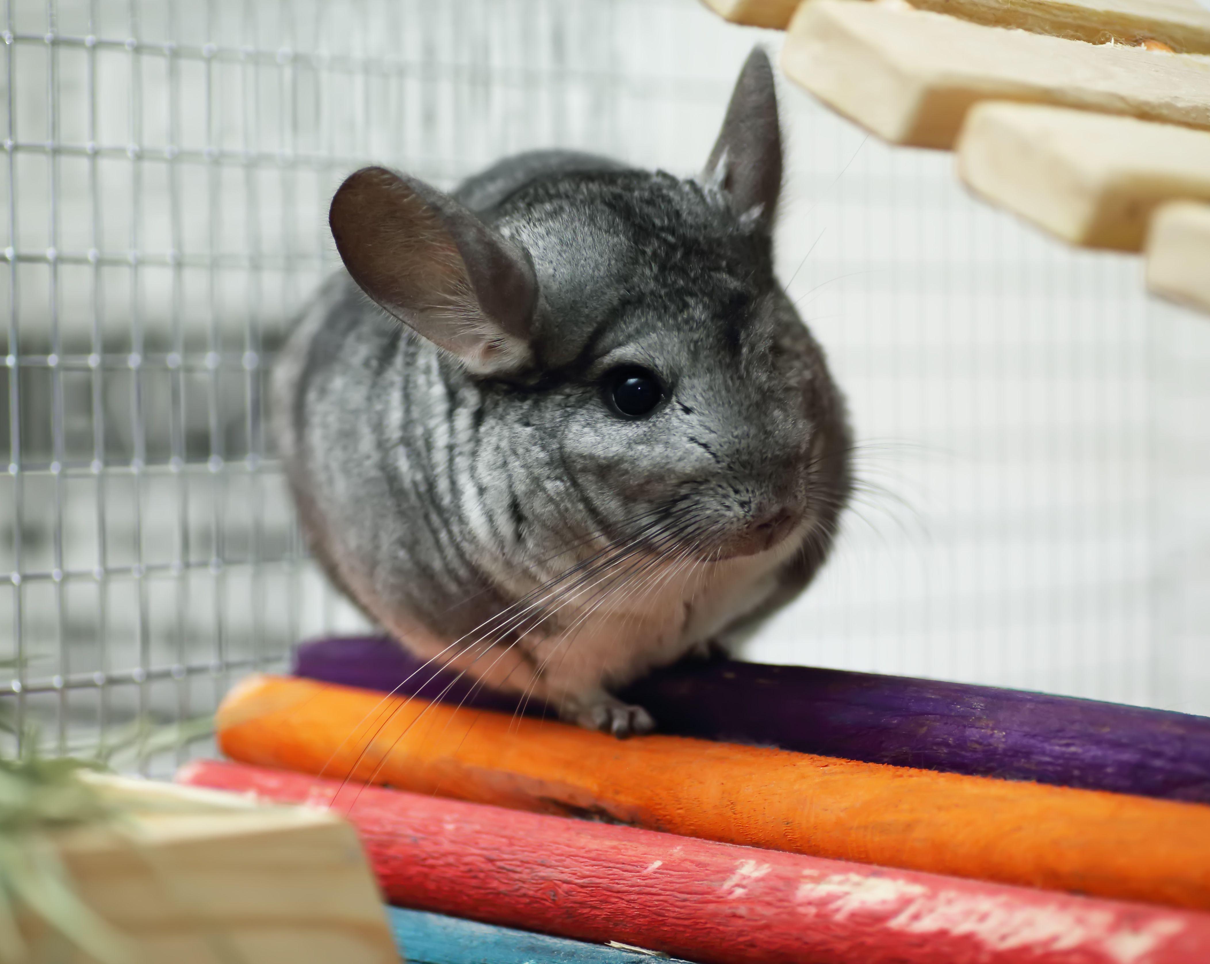 Grey chinchilla in colorful cage