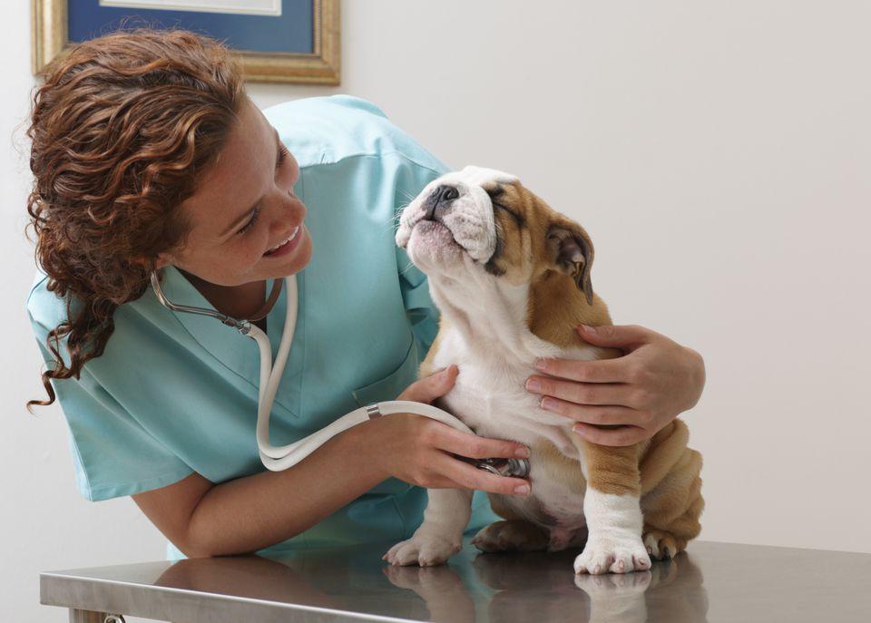vet examines a bulldog