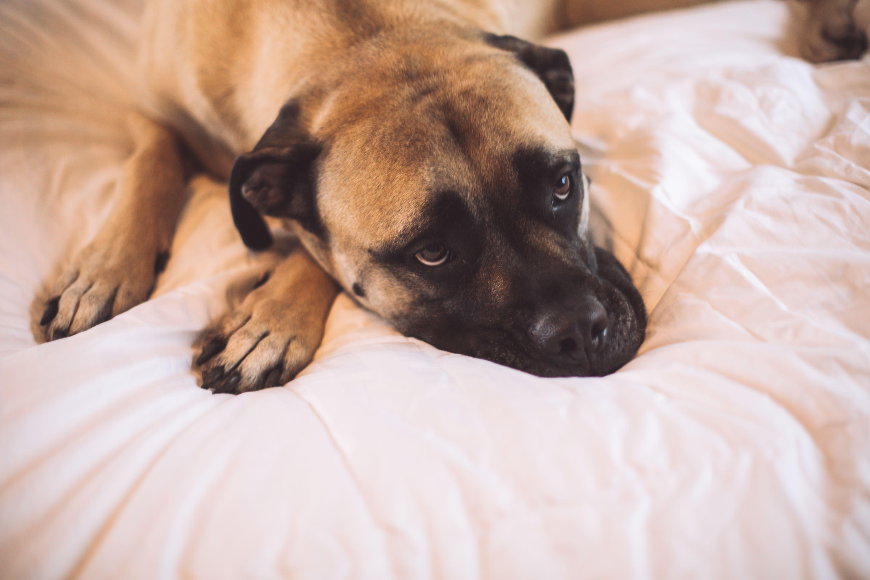 Bull Mastiff Dog On Bed