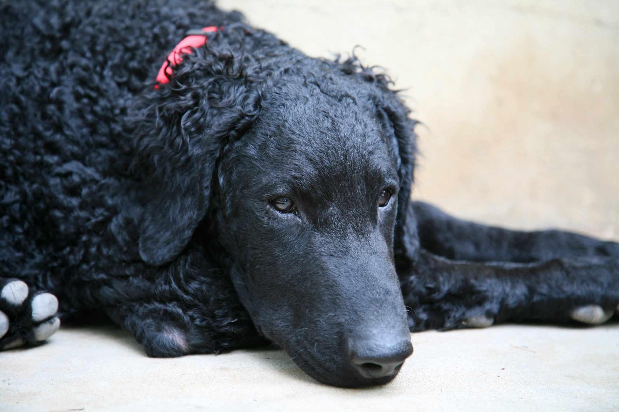 Black curly-coated retriever