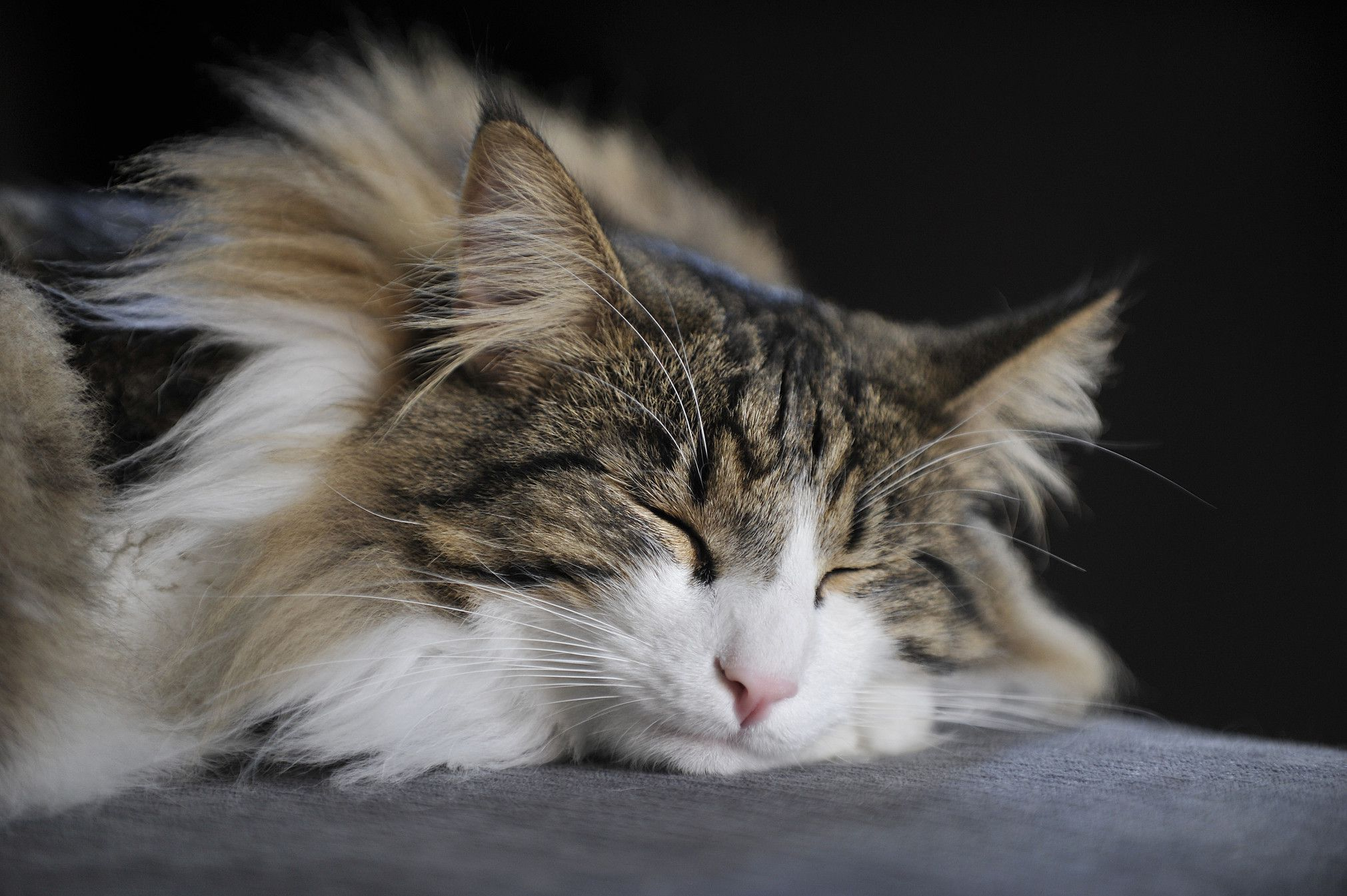 8 Pictures That Prove Norwegian Forest Cats Are the Most Beautiful