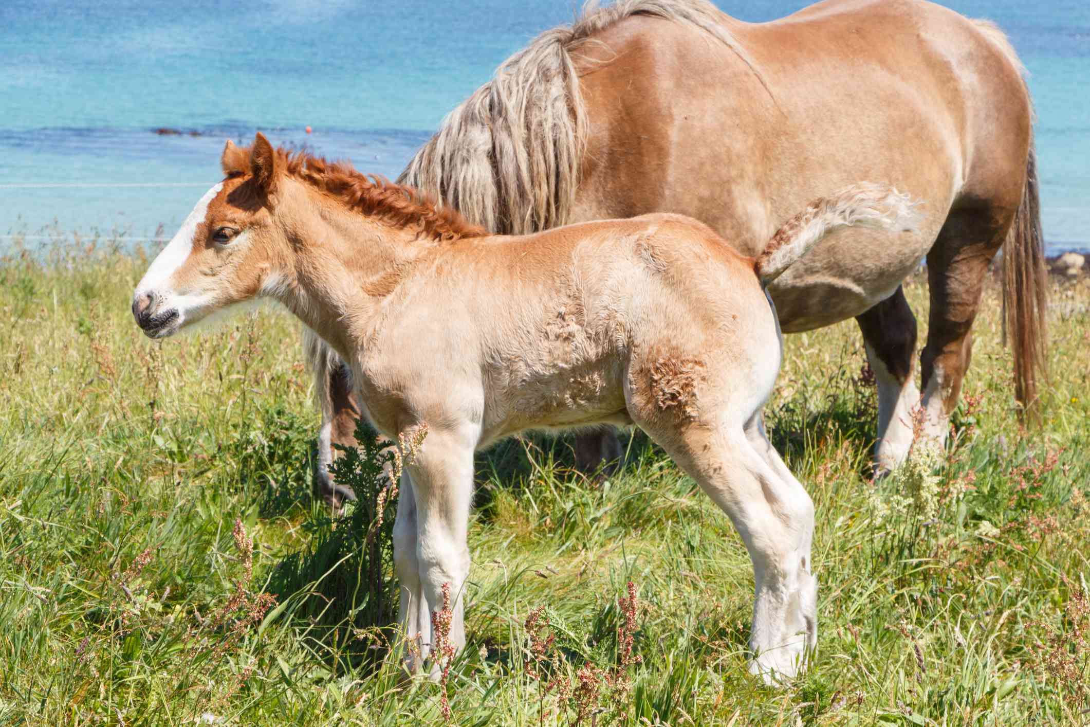 Breton mare and foal grazing in a field in front of the ocean