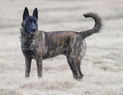 Dutch Shepherd Dog Working