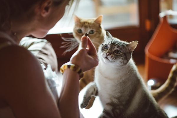Woman giving two cats a treat