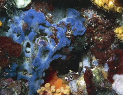 Red algae (Peyssonnelia squamaria) and member of Serpulidae's family on a sponge