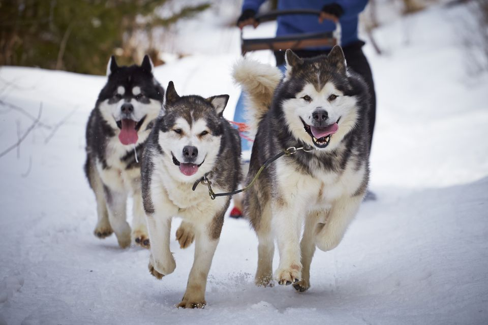 Three sled dogs in the snow