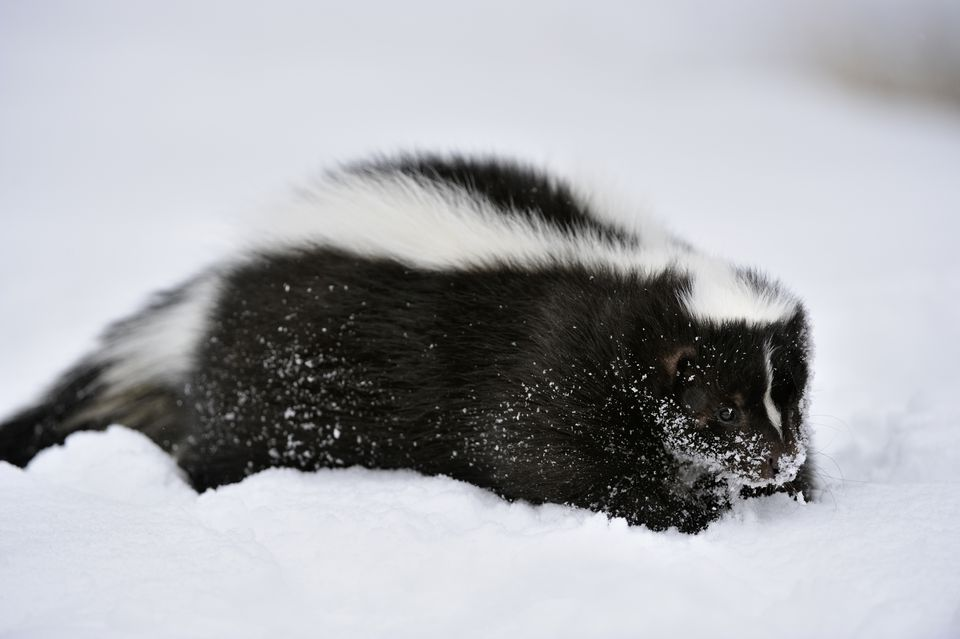 Skunk in the snow