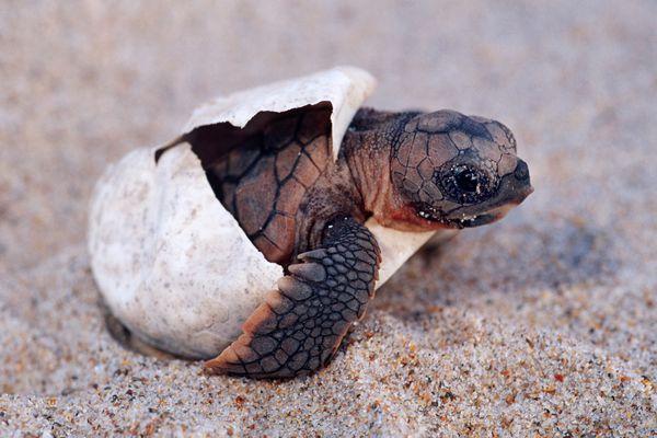 Loggerhead turtle hatchling emerging from egg