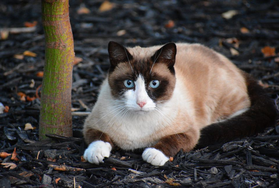 Snowshoe cat with distinct pointed markings