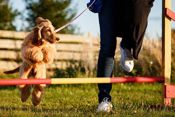Training a dog in agility