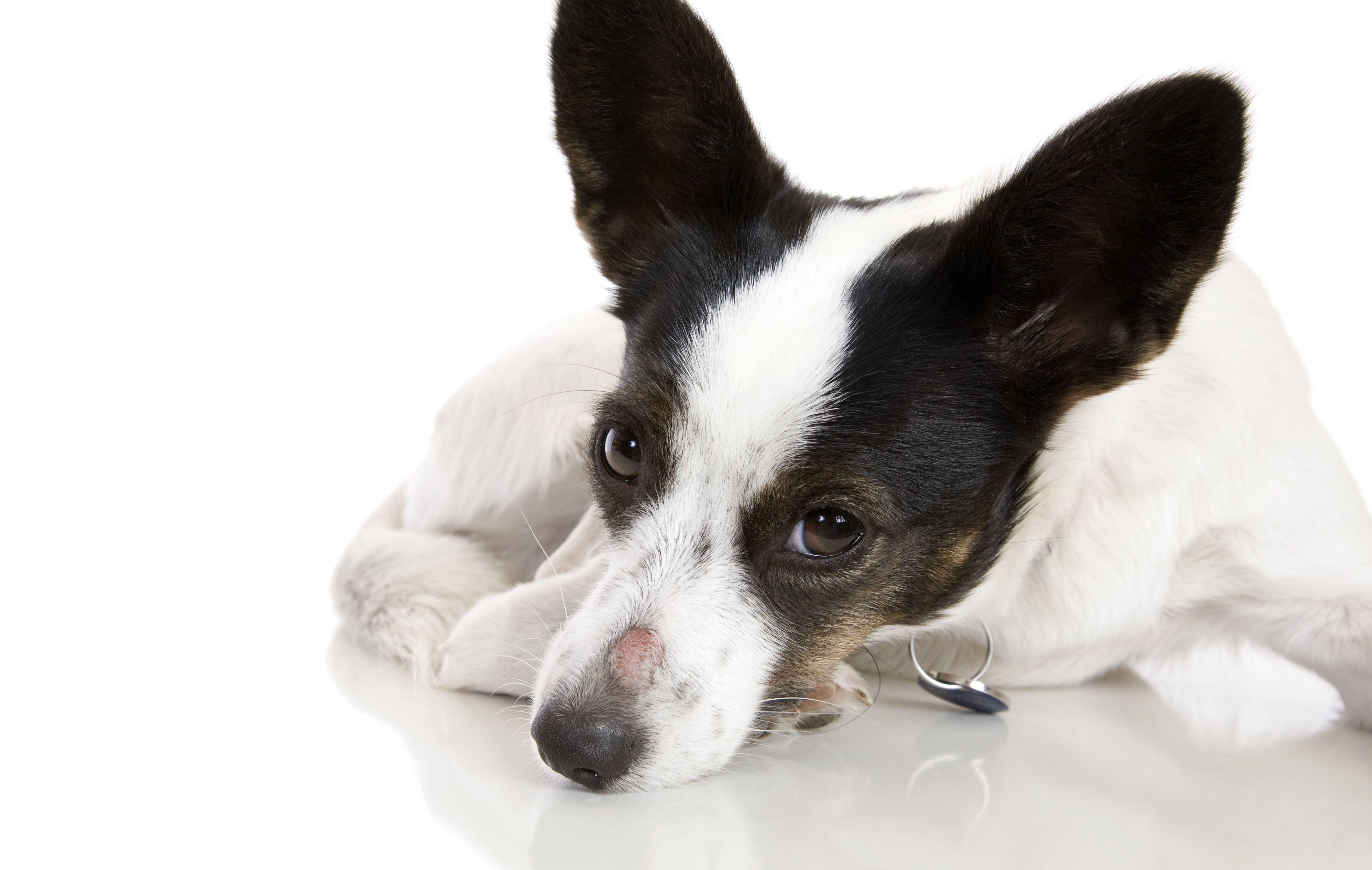 Dolor de nariz perro , Primer plano de la pata del perro en el muro de contención , Laboratorio amarillo descansando la cabeza sobre la cola de la caja