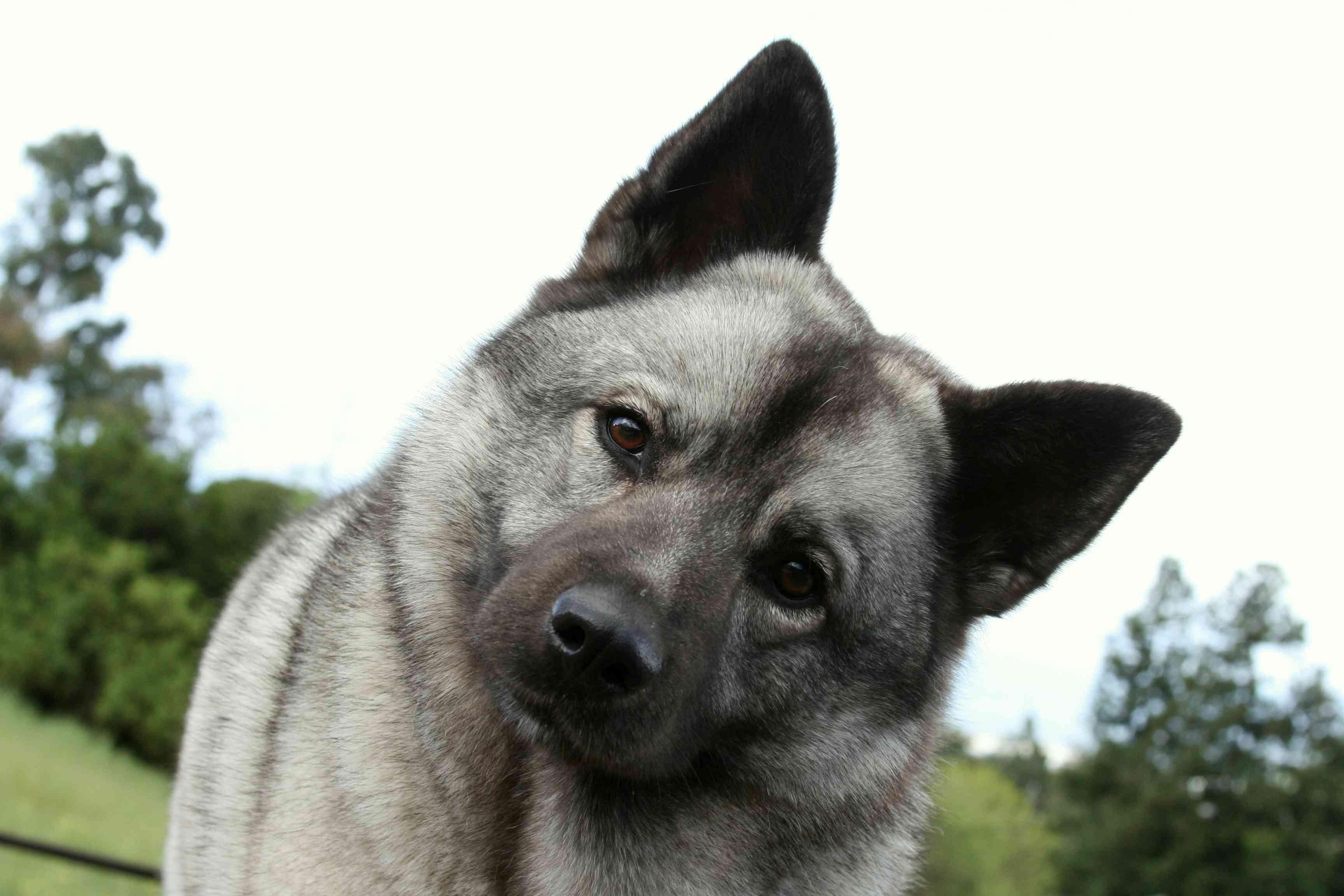 Norwegian Elkhound profile shot